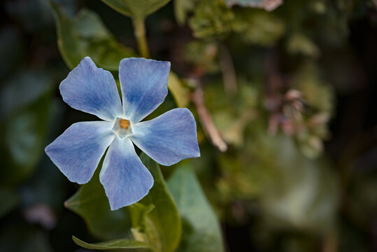 Photo of beautiful Greater Periwinkle. Photo taken in Photo taken in Ireland. Co Louth