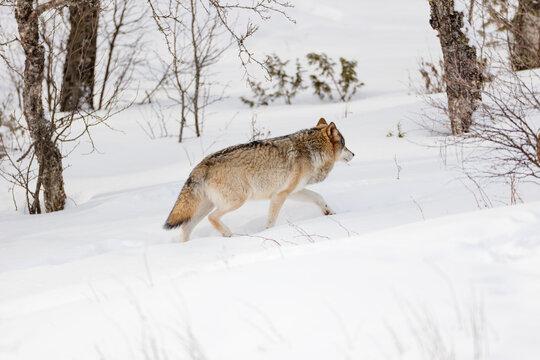 Furry wolf walking by bare trees on snow