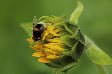 Wall Murals Sunflower bumblebee on a flower