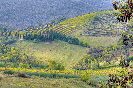 Terraced vineyards and olive groves on mountainside in Rada, Tuscany, Italy