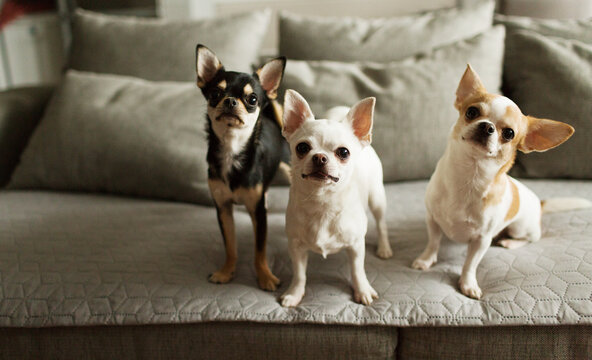 Three little chihuahuas are on a sofa