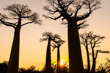 Silhouette baobab trees against clear sky at sunset, Morondava, Madagascar