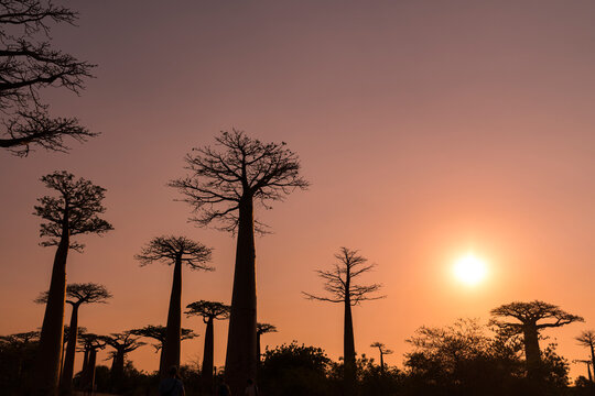 Silhouette baobab trees against clear sky at sunset in Morondava, Madagascar