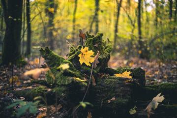 Fototapeta Żółty jesienny liść w lesie obraz
