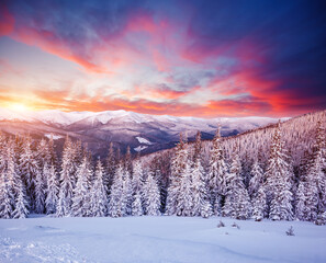 Wall Mural - Morning frosty landscape and snowy coniferous forest. Location place Carpathian mountains, Ukraine, Europe.