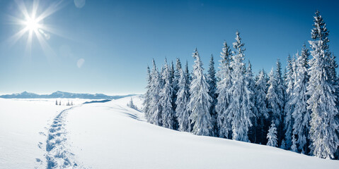 Wall Mural - Idyllic white spruces on a frosty day. Location Carpathian mountain.