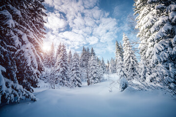 Wall Mural - Frosty day in snowy coniferous forest.
