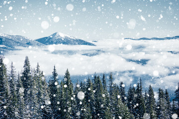 Wall Mural - Brilliance snowflakes in snowy coniferous forest. Location place of Carpathian mountains.