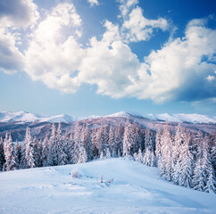 Wall Mural - Frosty day in snowy coniferous forest. Christmas holiday concept.