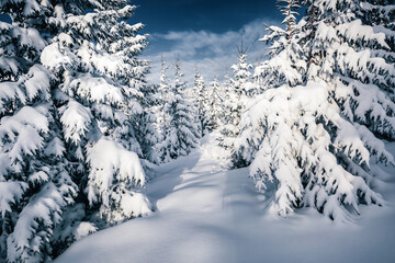 Wall Mural - Attractive image of spruces covered in snow.
