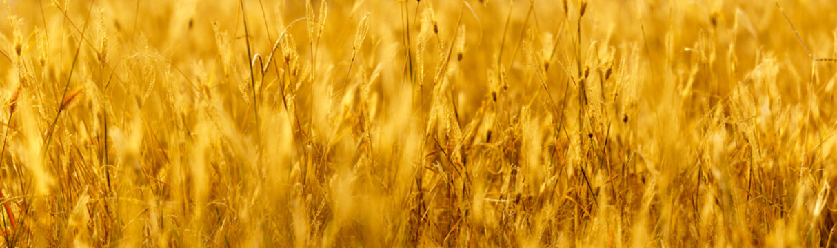 golden background. panoramic view of dry wild grass