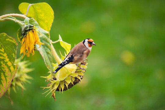 Stieglitz auf Sonnenblume im Garten