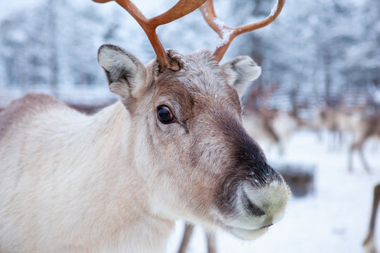 Reindeer herd, in winter, Lapland, Northern Finland. animal close-up