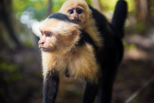 Baby monkey riding on mother's back - Whitefaced Capuchin Monkey