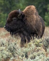 Fototapeta Bison Buffalo in Yellowstone National Park