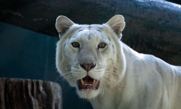 White lion with her mouth open
