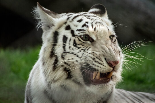 portrait of a white tiger snarling