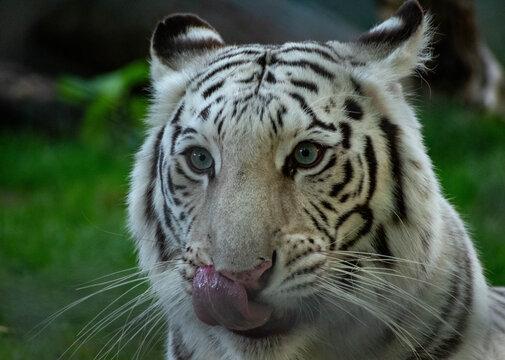 white bengal tiger licking her lips