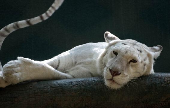 lazy white lion
