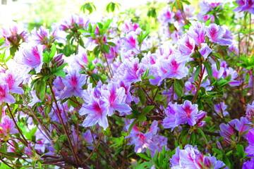春の公園に咲く躑躅の花の風景7