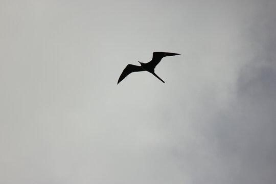 Magnificent Frigatebird Hunting for Food on Florida Beach