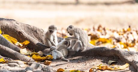 Vervet monkey (Chlorocebus pygerythrus) in Zimbabwe
