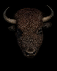 American bison portrait on black background. Buffalo  head isolated closeup.