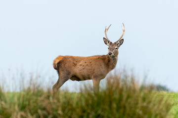 a young red deer stag stands on the top of a hill. It is positioned sideways and has his head turned looking to the front and the sky  behind.