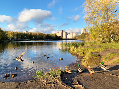 Ducks on the Pekhorka river in sunny autumn day. Moscow region, city of Balashikha, Russia