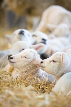 New born Lleyn lambs at lambing time resting in straw, United Kingdom