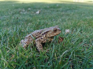 beautiful big frog in the grass
