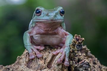 white tree frog or the australian green tree frog