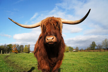 highland cow with horns