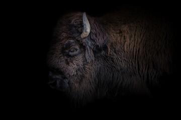 Bison mit Details des Kopfes mit schwarzen hintergrund