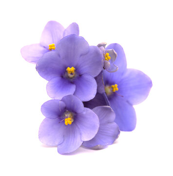 Blue african violet isolated on white background1