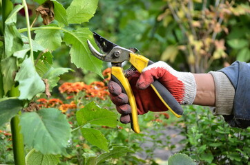 Fototapeta Yellow pruning shears in the hands of a gardener. Pruning dahlia flowers. Leaves and stems. Garden work pruning trees.