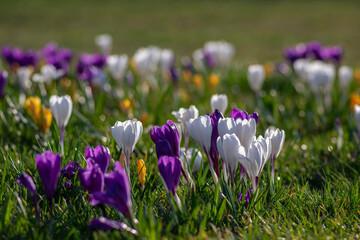 Field of flowering crocus vernus plants, group of bright colorful early spring flowers in bloom