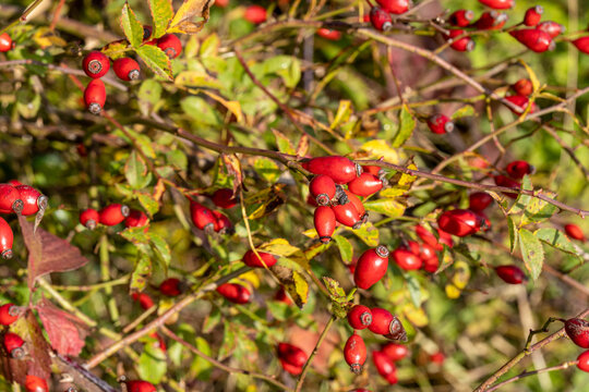 branch of rose hip during autumn