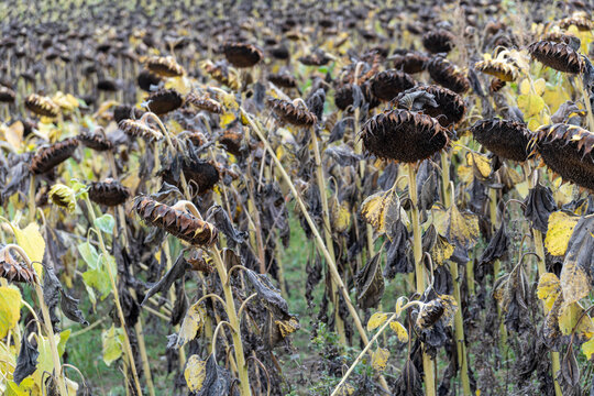 agricultural field of wilted sunflowers