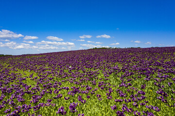 Violet flowers of poppy on a sunny day