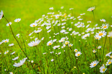 White daisy flowers against a green grass