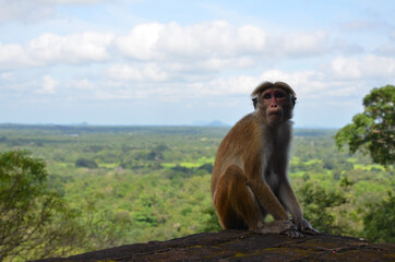 Closeup shot of a cute Toque macaque monkey sitting on the edge of a cliff in Sri Lanka