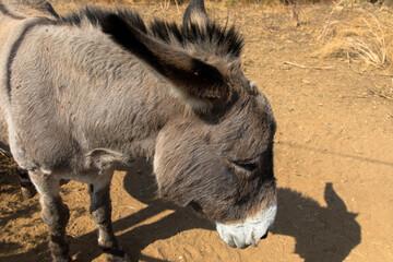 Shot of donkey head, Close up