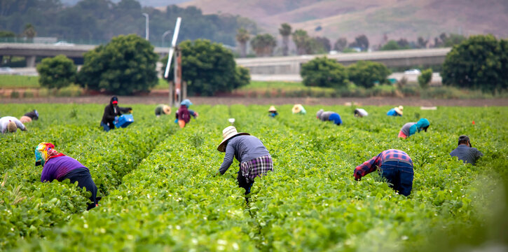 Migrant Workers picking strawberries in a Field