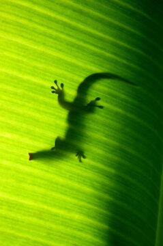 Seychelles small day gecko