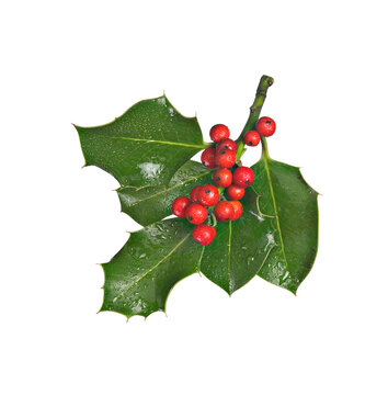 holly branch with red berries, isolated on red background
