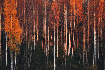 An autumnal Birch grove during fall foliage in Estonia.