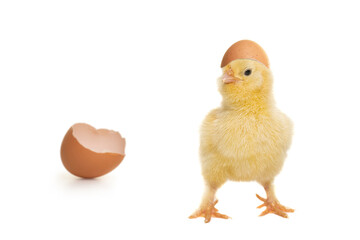 Cute baby chicken just hatched from the egg, with egg shell an its head and on a white background