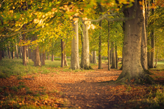 Beautiful forest walking path in autumn with golden leaves on the ground and in the trees, with selective focus