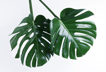 Beautiful monstera leaves on white background. Tropical plant